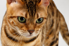 Close-up Bengal Cat Looking Angry in Camera on Stock Photography