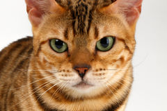 Close-up Bengal Cat Looking Angry in Camera on Stock Image