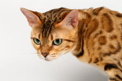 Close-up Bengal Cat Looking Angry on White Royalty Free Stock Images