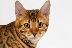Close-up Bengal Cat Looking in Camera on White Royalty Free Stock Photo