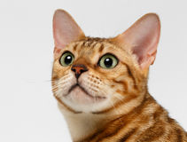 Close-up Bengal Cat Looking Up on White Stock Image