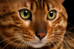 Close-up Bengal cat. Close-up portrait Bengal male cat with studio light Royalty Free Stock Photos