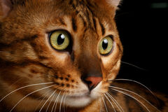 Close-up Bengal cat. Close-up portrait Bengal male cat with studio light Stock Images
