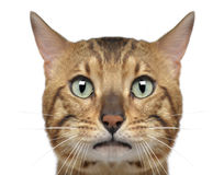Close-up of a Bengal cat, 3 years old. Isolated on white Stock Image
