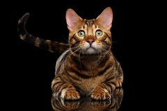 Close-up Bengal Male Cat Lying, looks hope, Isolated Black Background Stock Photography