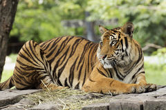 Close up Bengal Tiger Royalty Free Stock Photography
