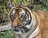 A Close Up Bengal Tiger in a Zoo Cage Stock Photos
