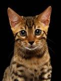 Close-up Bengalen Kitty Looking in camera op Zwarte stock afbeeldingen