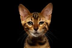 Close-up Bengalen Kitty Looking in camera op Zwarte stock fotografie