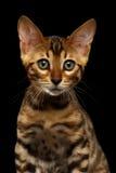 Close-up Bengalen Kitty Looking in camera op Zwarte royalty-vrije stock afbeelding