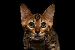 Close-up Bengalen Kitty Looking in camera op Zwarte stock foto's