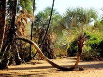 Namibia, Epupa, Kunene, Palm Tree bent to Ground. Close-up of bent palm tree, which is touching the ground, while walking through Northern Namibia stock photos