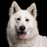 Close-up of Berger Blanc Suisse, 2 years old Stock Image