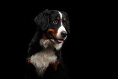 Close-up Bernese Mountain Dog panting in front of isolated black background Stock Image