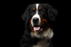Close-up Bernese Mountain Dog panting in front of isolated black background Stock Images