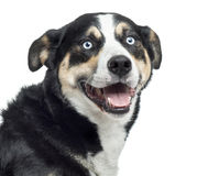 Close up of a Bernese Mountain Dog panting, isolated Stock Photo