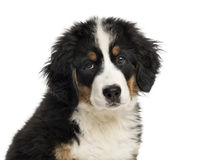 Close-up of a Bernese Mountain Dog puppy Stock Image