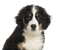 Close-up of a Bernese Mountain Dog puppy Royalty Free Stock Images