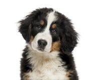Close-up of a Bernese Mountain Dog puppy Stock Photos