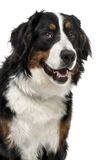 Close-up of a Bernese Mountain Dog, 1 year old Royalty Free Stock Photo