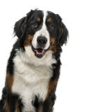 Close-up of a Bernese Mountain Dog, 1 year old Stock Image