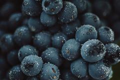 Close up, berries of dark bunch of grape with water drops in low light on black background.  stock photos