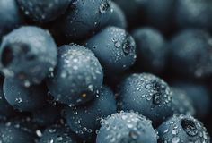 Close up, berries of dark bunch of grape with water drops in low light on black background.  royalty free stock photo