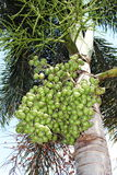 Close up  betel nut at palm tree Stock Photos