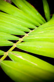 Close up of betel palm leaves Royalty Free Stock Image