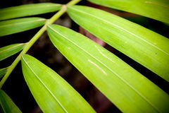 Close up of betel palm leaves Royalty Free Stock Photos