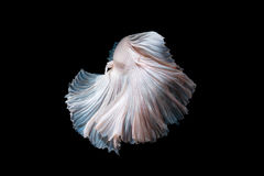 Close up of Betta fish or Siamese fighting fish Stock Photography