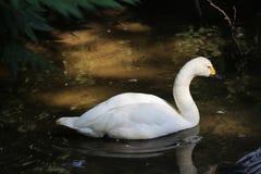 Bewicks swan Royalty Free Stock Image