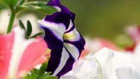 A bi-colored petunia flower. A close-up of bi-colored petunia flower in white and purple.It is know as Purple Star Petunia Stock Photo