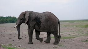 Close Up Of A Big African Elephant Walking On The Ground In The Savannah. Close up side view, old and large wild african elephant walking on the ground in the stock video footage