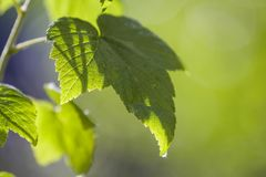 Close-up of big beautiful bright fresh shiny currant leaves glowing in summer sunlight on blurred bright green bokeh background. B Stock Photography