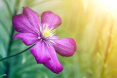 Close-up of big beautiful bright purple fully blooming flower lit by sun on blurred green summer background. Beauty and tenderness stock photo
