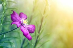 Close-up of big beautiful bright purple fully blooming flower lit by sun on blurred green summer background. Beauty and tenderness stock photography