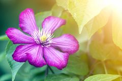 Close-up of big beautiful bright purple fully blooming flower lit by sun on blurred green summer background. Beauty and tenderness royalty free stock image