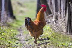 Close-up of big beautiful red well fed rooster proudly guarding Royalty Free Stock Photos