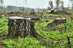 Close-up of big birch stump. Rural landscape with stumps of felled trees on the forest glade Stock Image