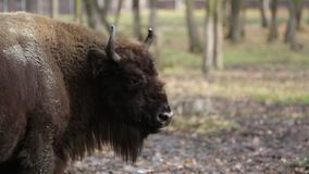 Close up of big bison stock footage