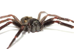 Close up of a big black spider Royalty Free Stock Photo