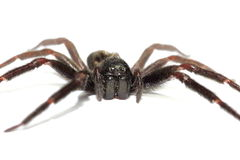 Close up of a big black spider Royalty Free Stock Photos