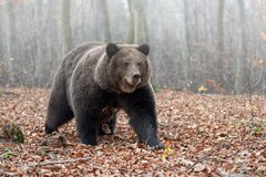 Bear in autumn forest royalty free stock photo
