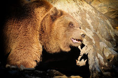 Big Brown Bear Royalty Free Stock Images