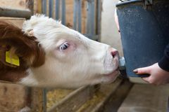 Calf feeding with milk from bucket Stock Images