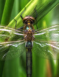 A close-up from a big dragon fly. In the gras Royalty Free Stock Photos