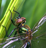 A close-up from a big dragon fly. In the gras Royalty Free Stock Images