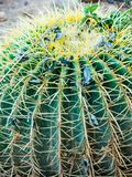 Close up of a big Echinocactus Grusonii Golden Barrel Ball or Mother In Law Cushion cactus. Card stock image
