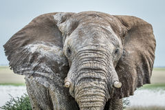 Close up of a big Elephant bull. Royalty Free Stock Images